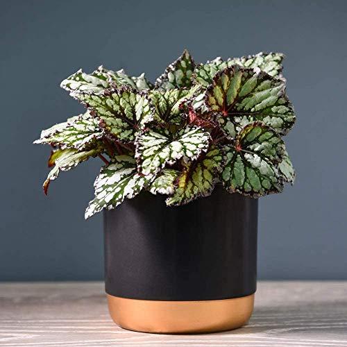 Top 7 Begonia Rex Seeds Uk Home Garden Store Chimpart